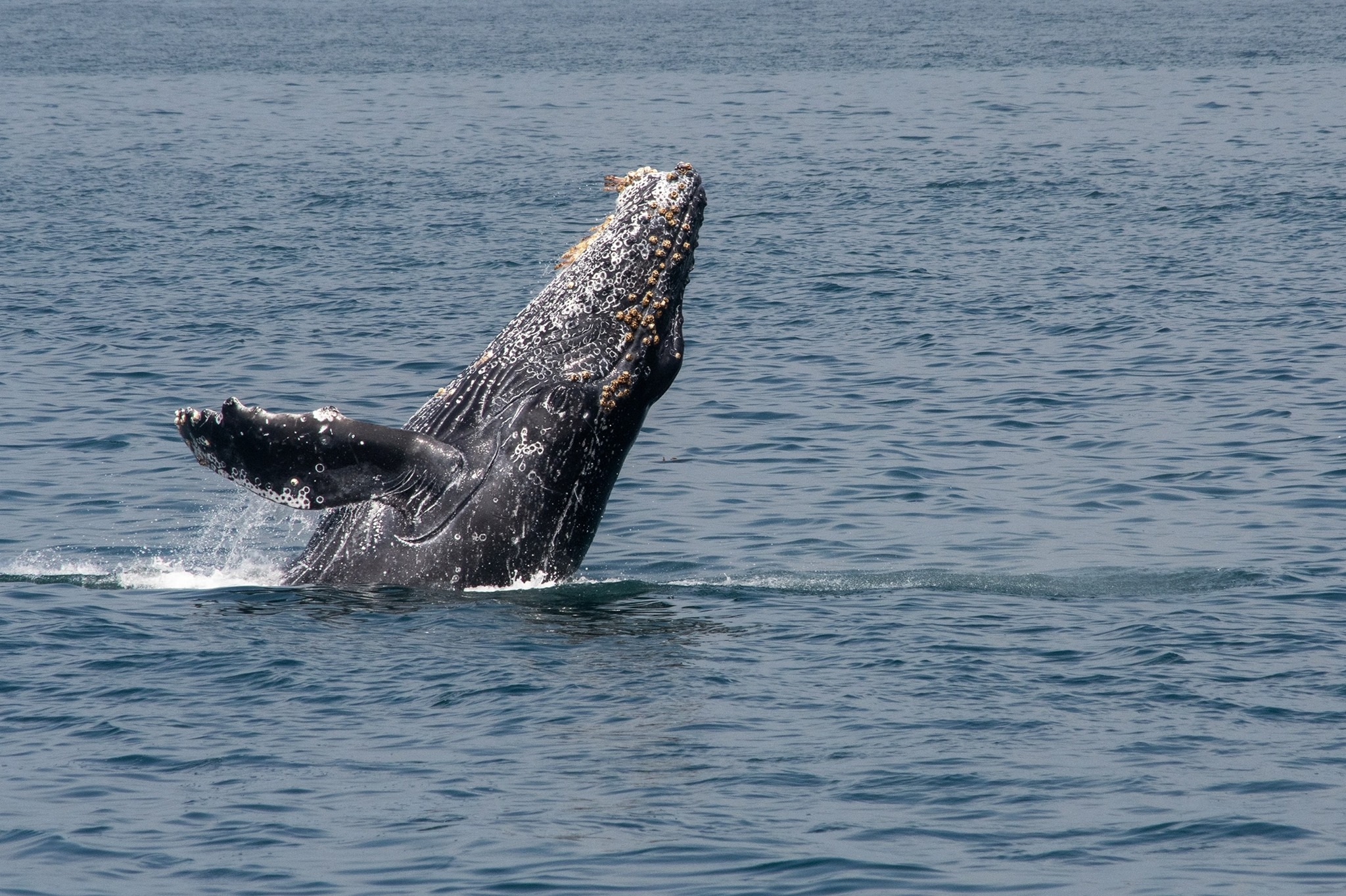 Gray whale breaches off of the coast in San Diego